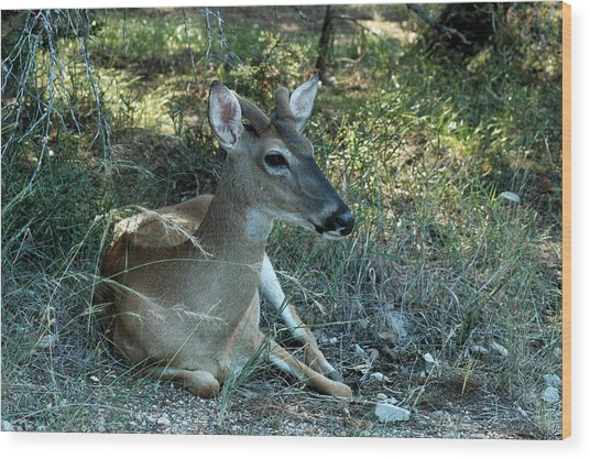 Baby Buck Wood Print by Teresa Blanton