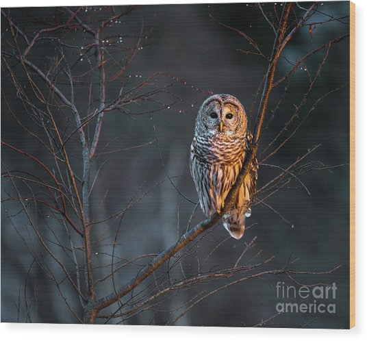 Barred Owl Wood Print by Benjamin Williamson