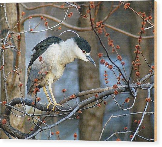 Black-crowned Night Heron Wood Print by Neil Doren