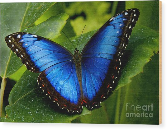 Blue Morpho Wood Print by Neil Doren