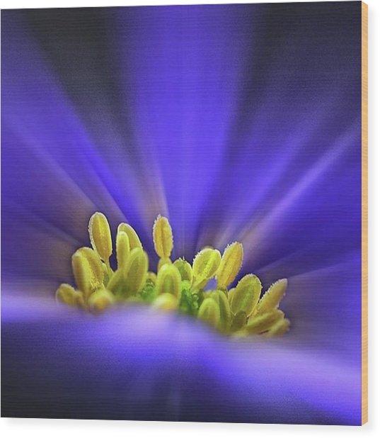 blue Shades - An Anemone Blanda Wood Print