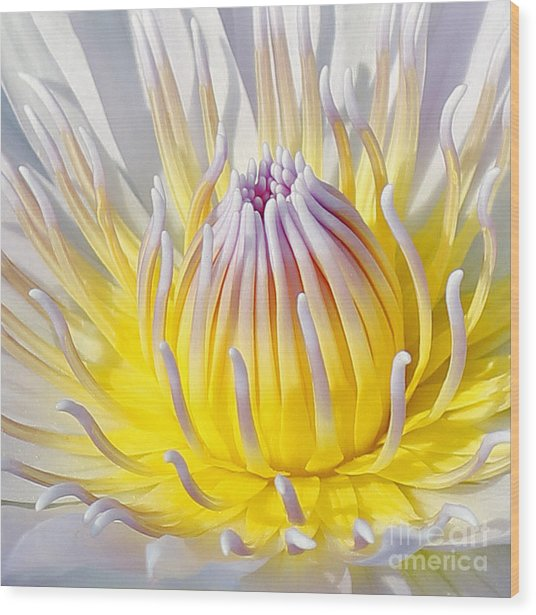 Blue Water Lily Wood Print