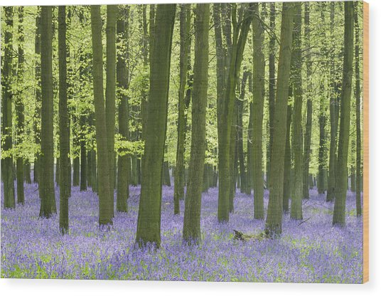 Bluebell Wood Wood Print by Liz Pinchen