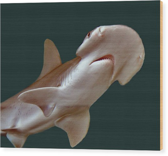 Bonnethead Shark Wood Print