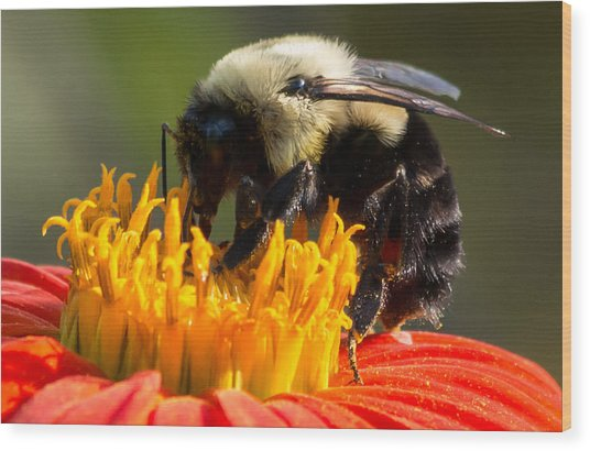 Wood Print featuring the photograph Bumble Bee by Willard Killough III