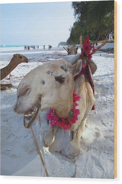 Camel On Beach Kenya Wedding3 Wood Print