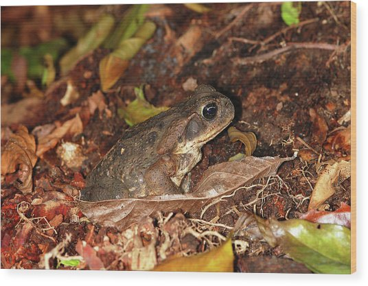 Cane Toad Wood Print