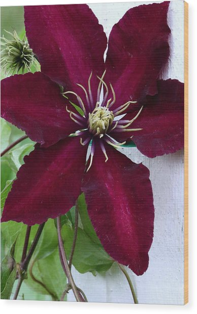 Clematis Wood Print by Janice Drew