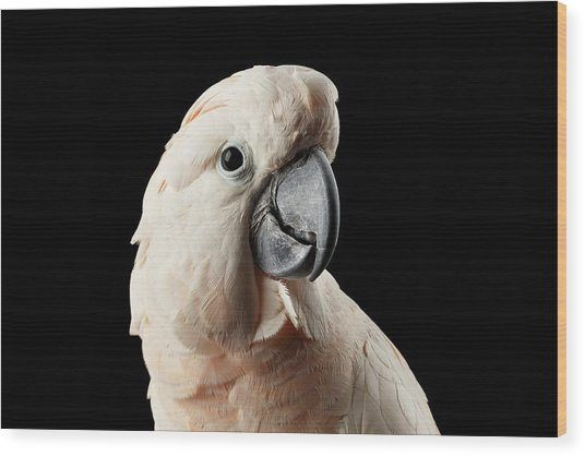Closeup Head Of Beautiful Moluccan Cockatoo, Pink Salmon-crested Parrot Isolated On Black Background Wood Print