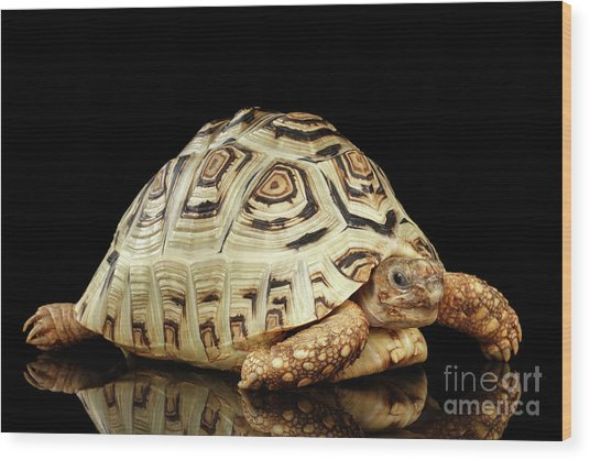 Closeup Leopard Tortoise Albino,stigmochelys Pardalis Turtle With White Shell On Isolated Black Back Wood Print