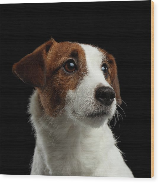 Closeup Portrait Of Jack Russell Terrier Dog On Black Wood Print