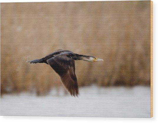 Cormorant In Flight Wood Print