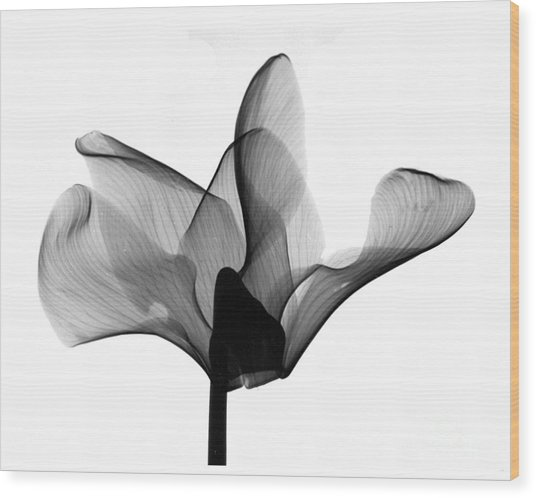 Cyclamen Flower X-ray Wood Print