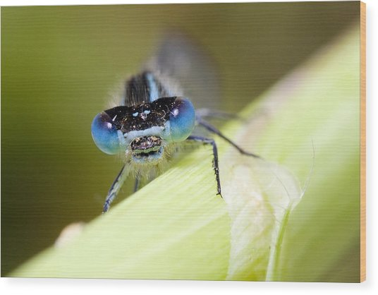 Damselfly Wood Print by Andre Goncalves
