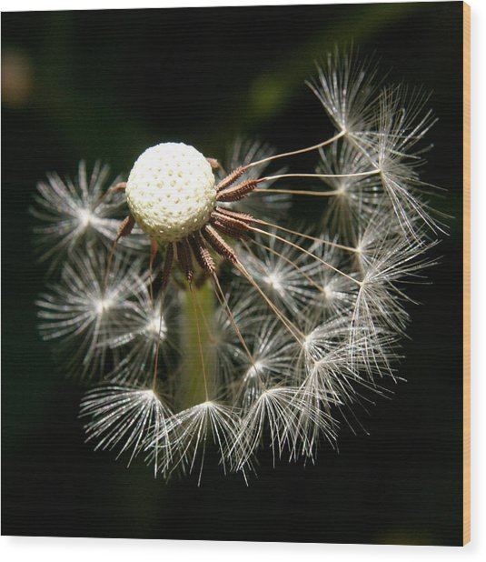 Dandelion Wood Print by PIXELS  XPOSED Ralph A Ledergerber Photography