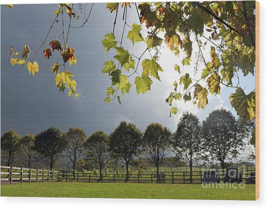 Denbies Vineyard Surrey Uk Wood Print
