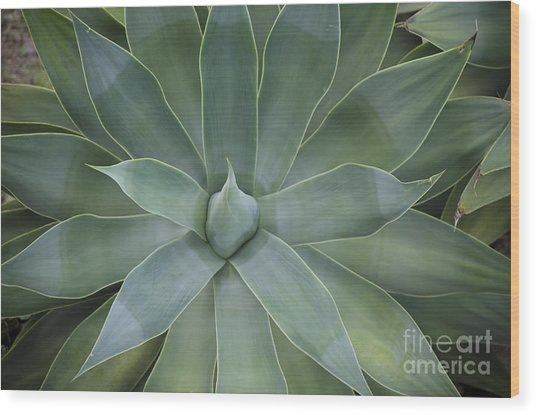 Detail Of An Agave Attenuata Wood Print