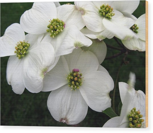 Dogwood Branch Wood Print
