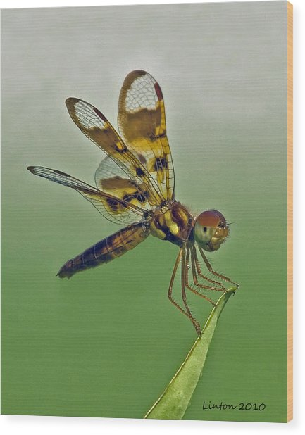 Eastern Amberwing Dragonfly Wood Print by Larry Linton
