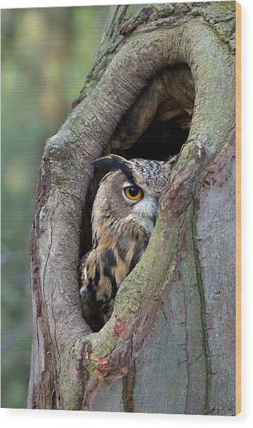 Eurasian Eagle-owl Bubo Bubo Looking Wood Print
