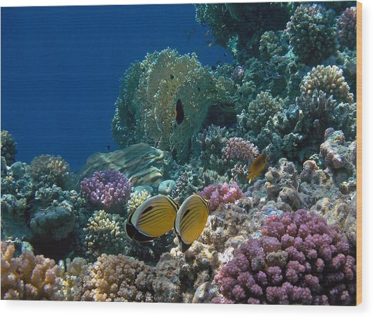 Exquisite Butterflyfish In The Red Sea Wood Print