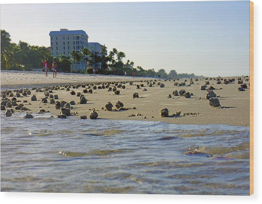 Fighting Conchs At Lowdermilk Park Beach In Naples, Fl Wood Print