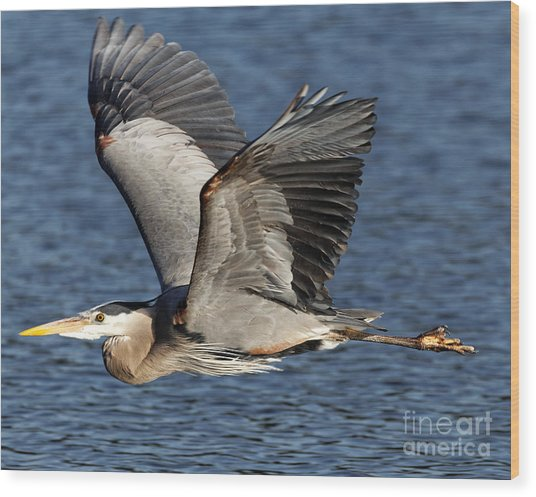 Flight Of The Great Blue Heron Wood Print