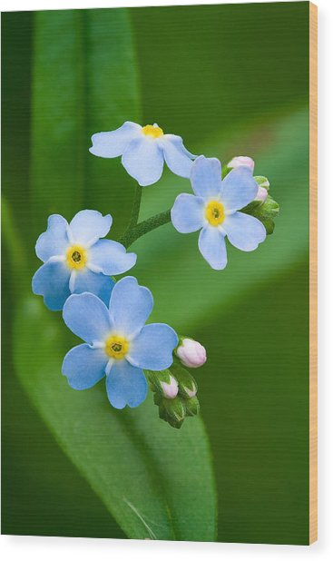 Forget-me-not Wood Print by Yuri Peress