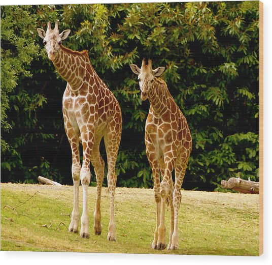 Giraffe Family Wood Print by Sonja Anderson