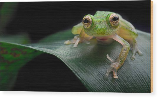 glass frog Amazon forest Wood Print