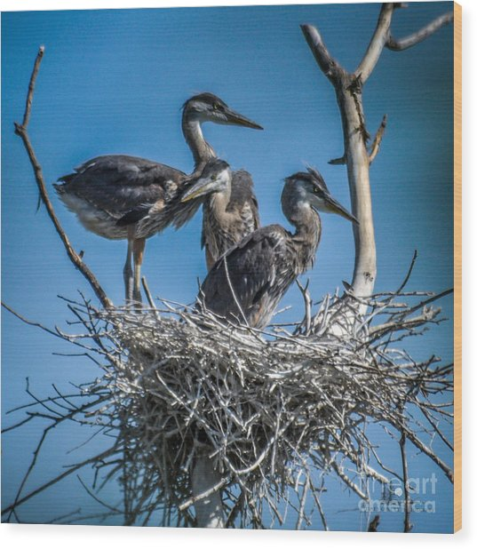 Great Blue Heron On Nest Wood Print