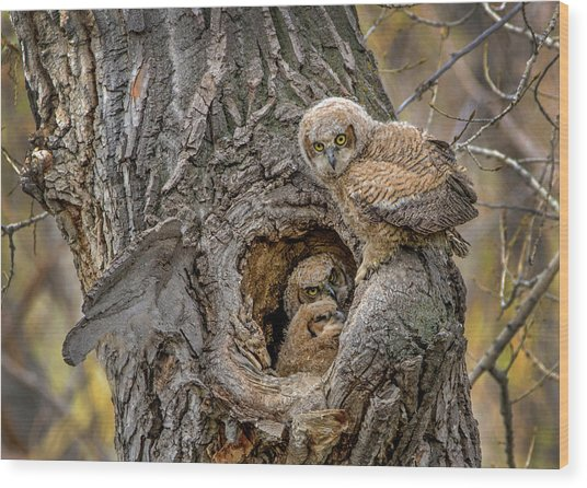 Great Horned Owlets In A Nest Wood Print