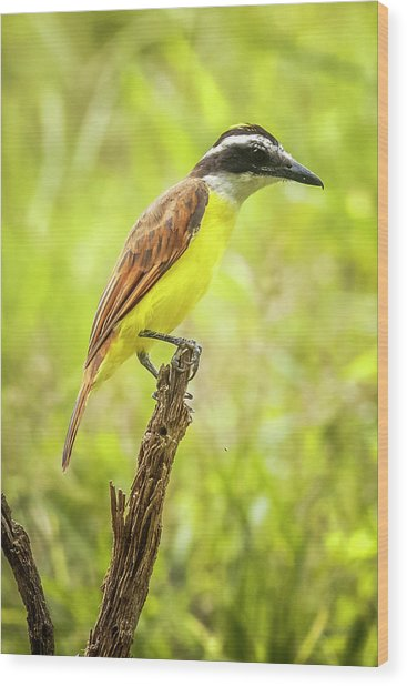 Great Kiskadee Panaca Quimbaya Colombia Wood Print