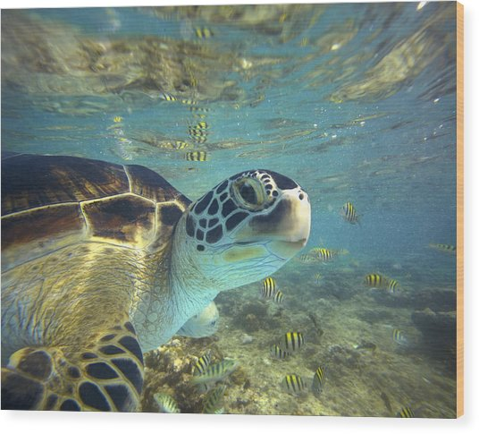 Green Sea Turtle Balicasag Island Wood Print