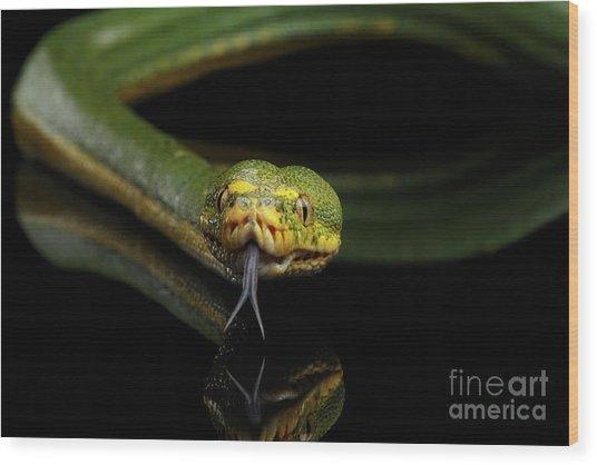 Green Tree Python. Morelia Viridis. Isolated Black Background Wood Print
