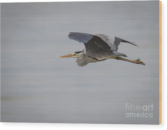 Grey Heron Wood Print