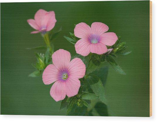 Hairy Pink Flax Wood Print by Yuri Peress