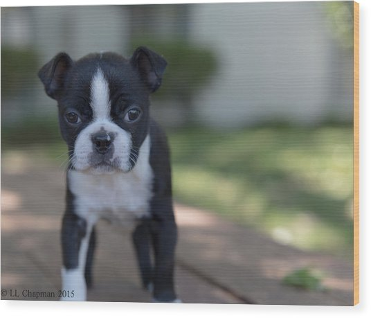 Harley As A Puppy Wood Print
