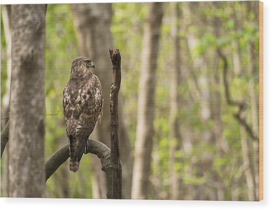 Hawk Hunting In The Woods Wood Print