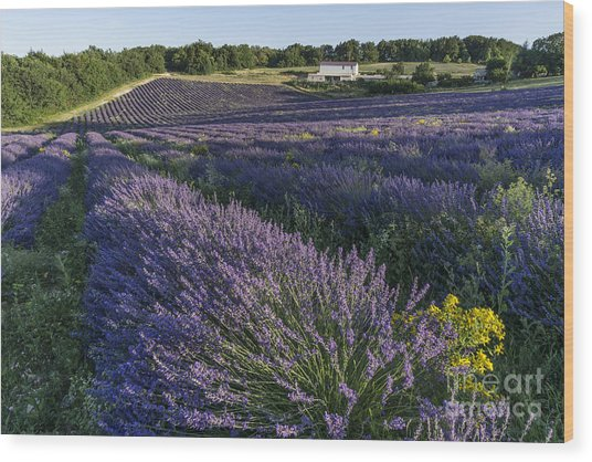 Wood Print featuring the photograph Lavender Field Provence  by Juergen Held