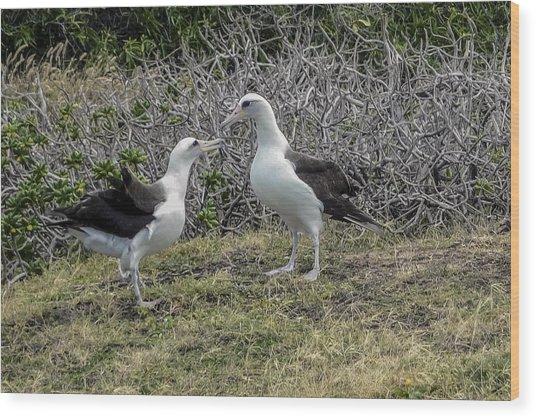 Laysan Albatross Hawaii #2 Wood Print
