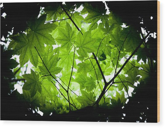 Light On Maple Leaves Wood Print by Jonathan Hansen