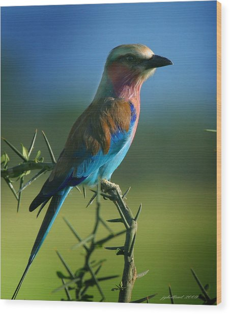 Lilac Breasted Roller Wood Print