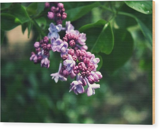 Lilac Wood Print by Cathie Tyler
