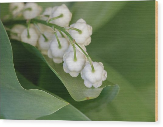Lily Of The Valley Wood Print by Rodger Werner