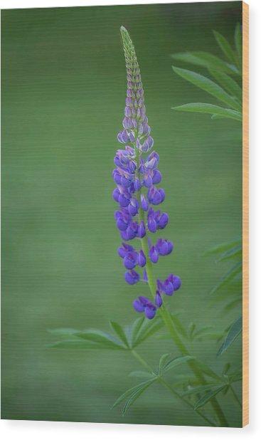 Graceful Lupine Wood Print