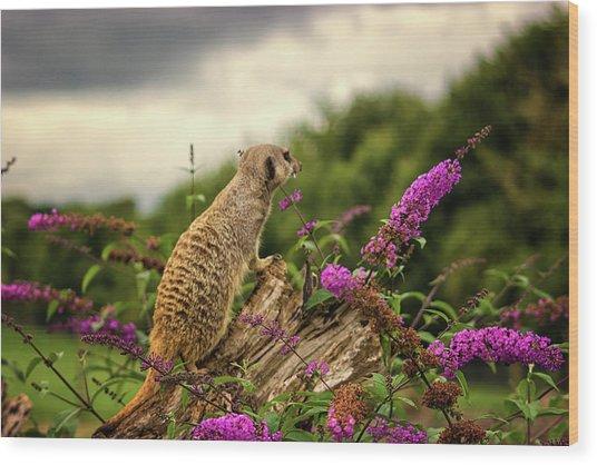 Meerkat Lookout Wood Print
