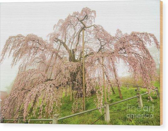 Miharu Takizakura Weeping Cherry02 Wood Print