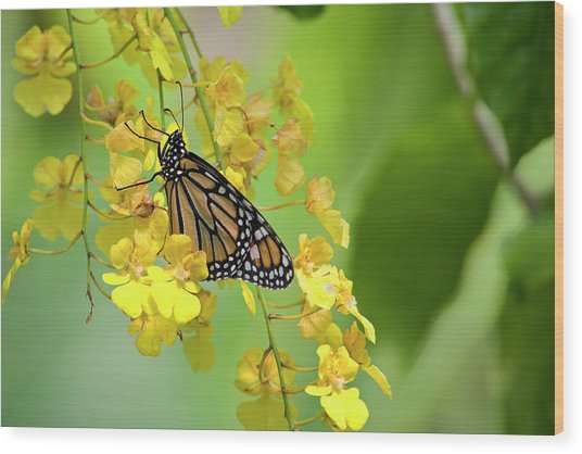 Monarch Butterfly On Yellow Orchids Wood Print