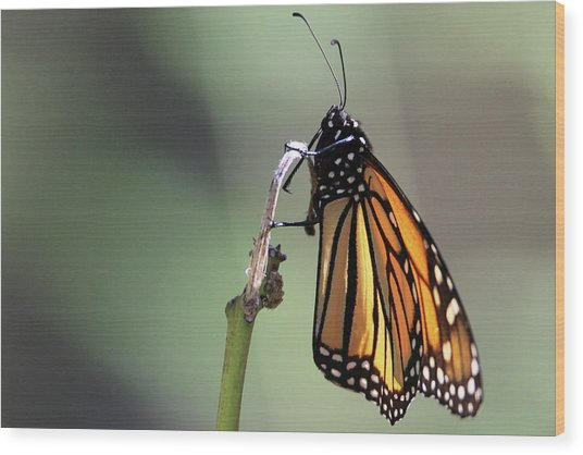 Monarch Butterfly Stony Brook New York Wood Print
